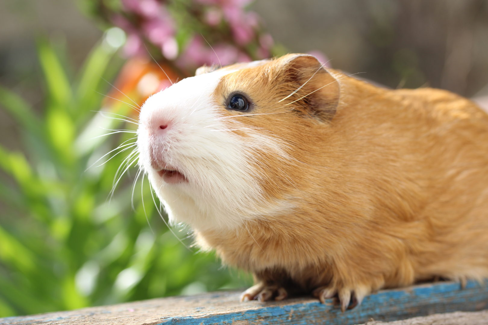 Guinea pig sitting on board in front of flowers