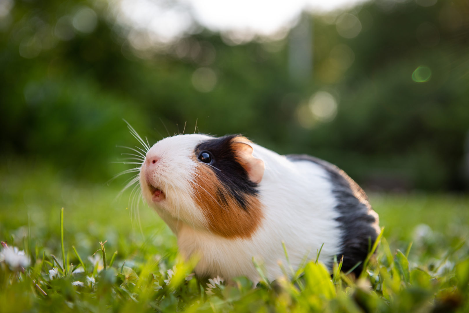 Black, white and brown guinea pig sitting on grass