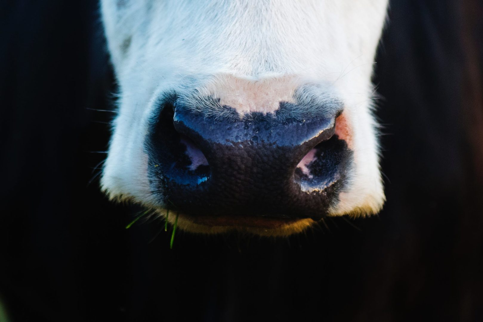 Close up of dairy cow nose