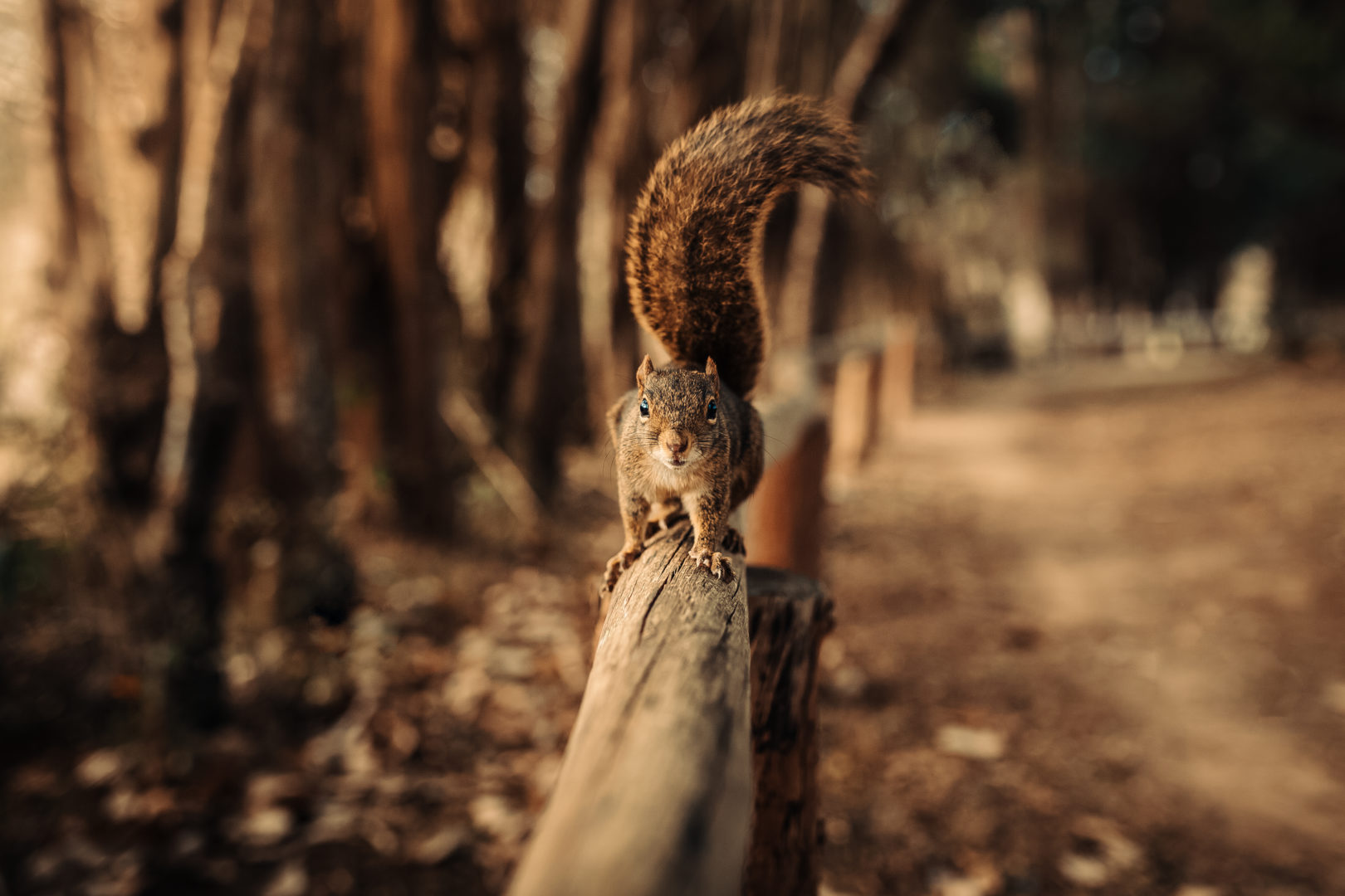 Squirrel standing on wooden fence in forest