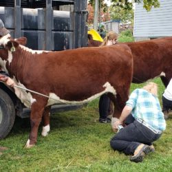 Members grooming calves just before the show.