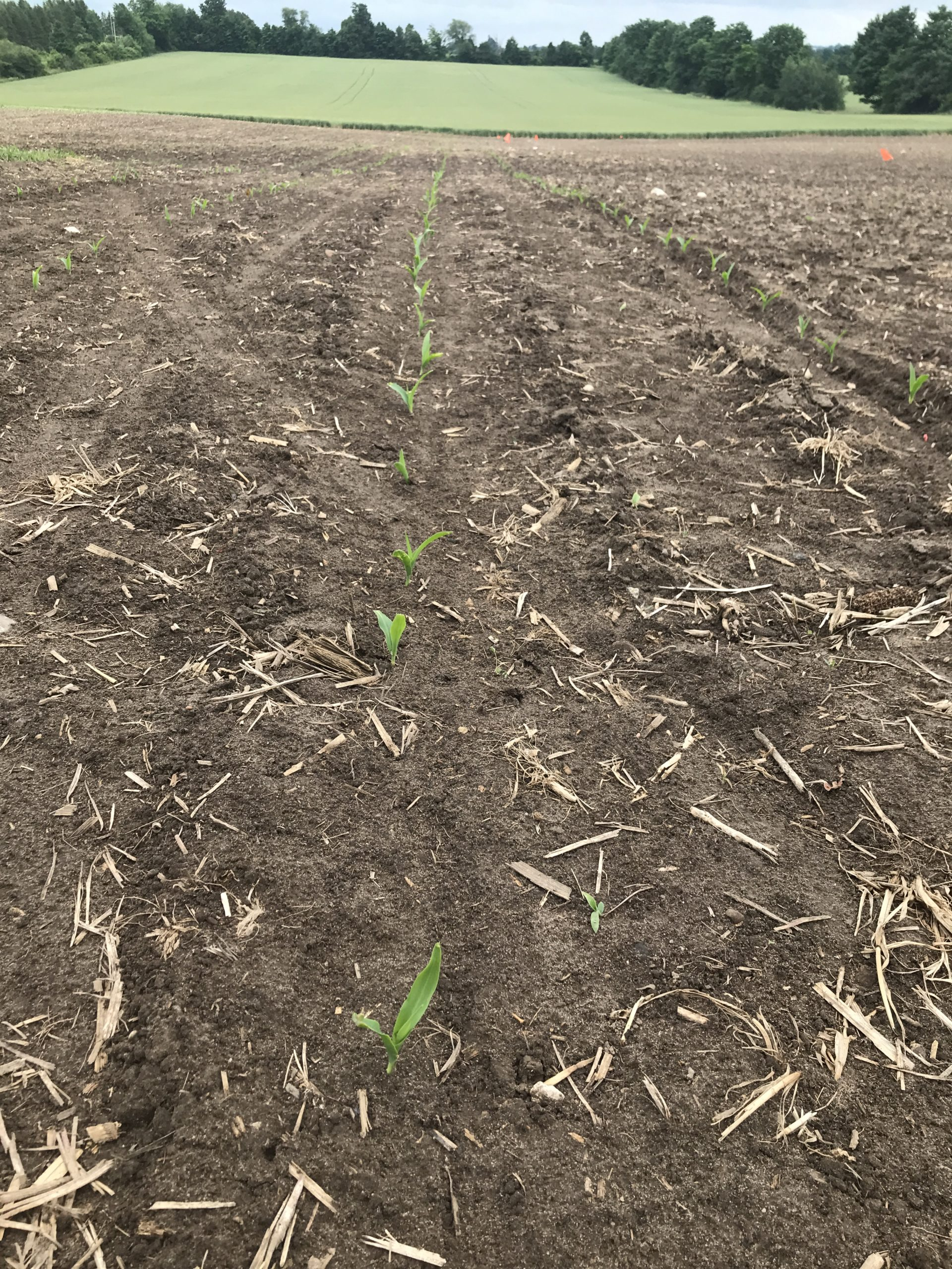 sweet corn coming up that member planted