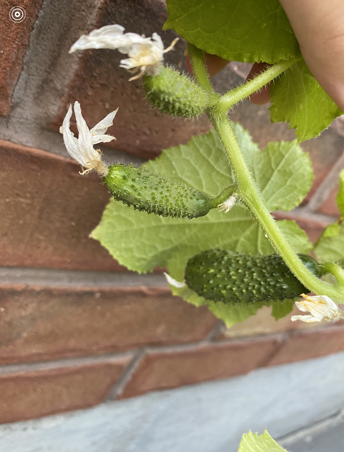 Cucumber form on plant