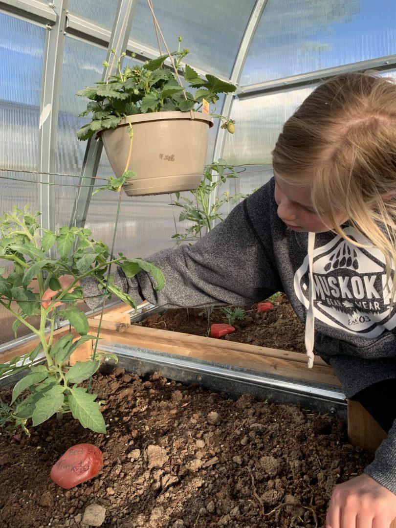 Member suckers tomato plants