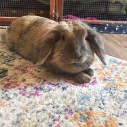 Niagara - Rabbit 5