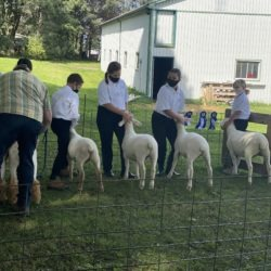 Judge checking body condition of 4-H lambs in ring