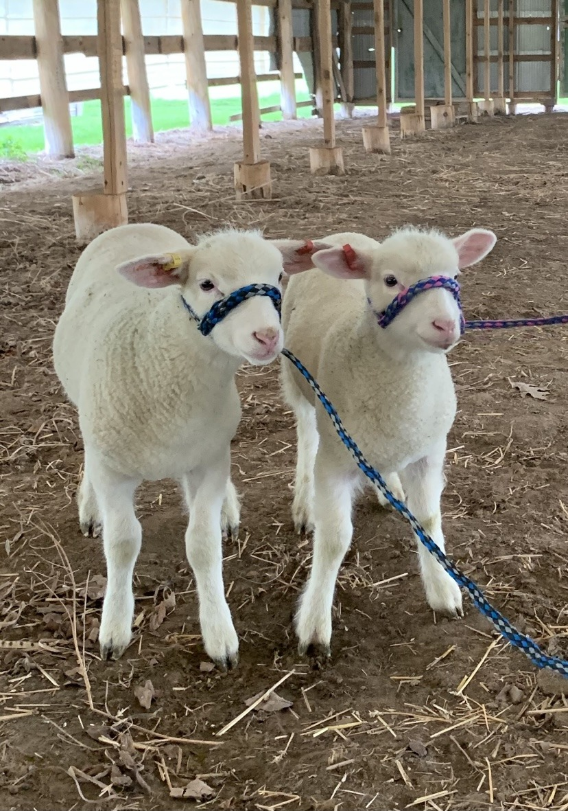 Lambs on recess from training