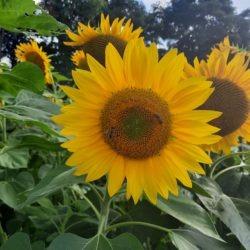 Members Sunflowers