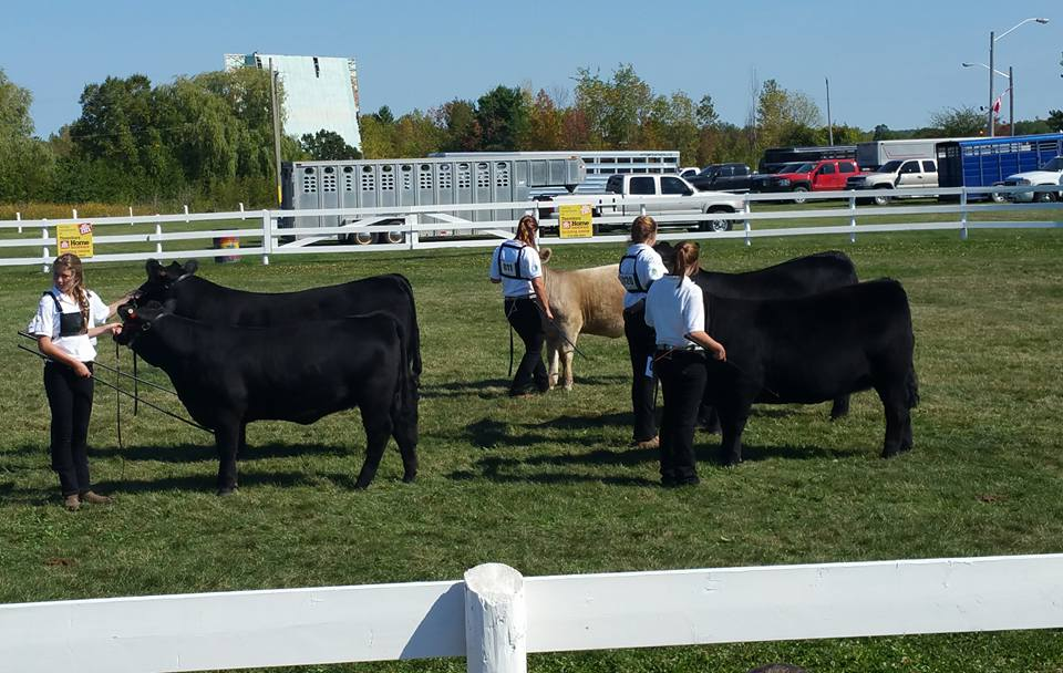Beef calves and members in showring