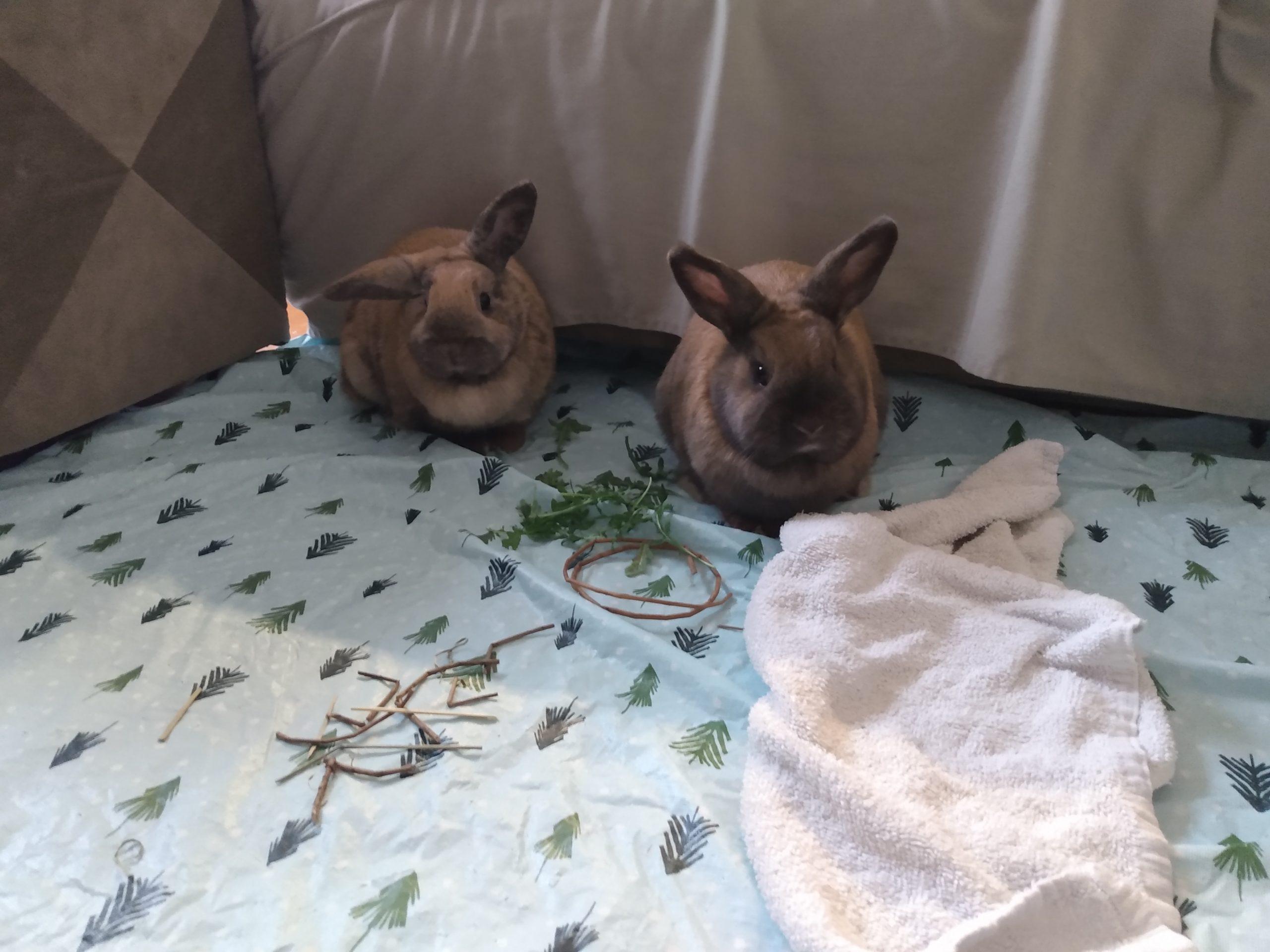 Two members rabbits hopping around.