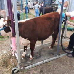 4-H members drying their heifers