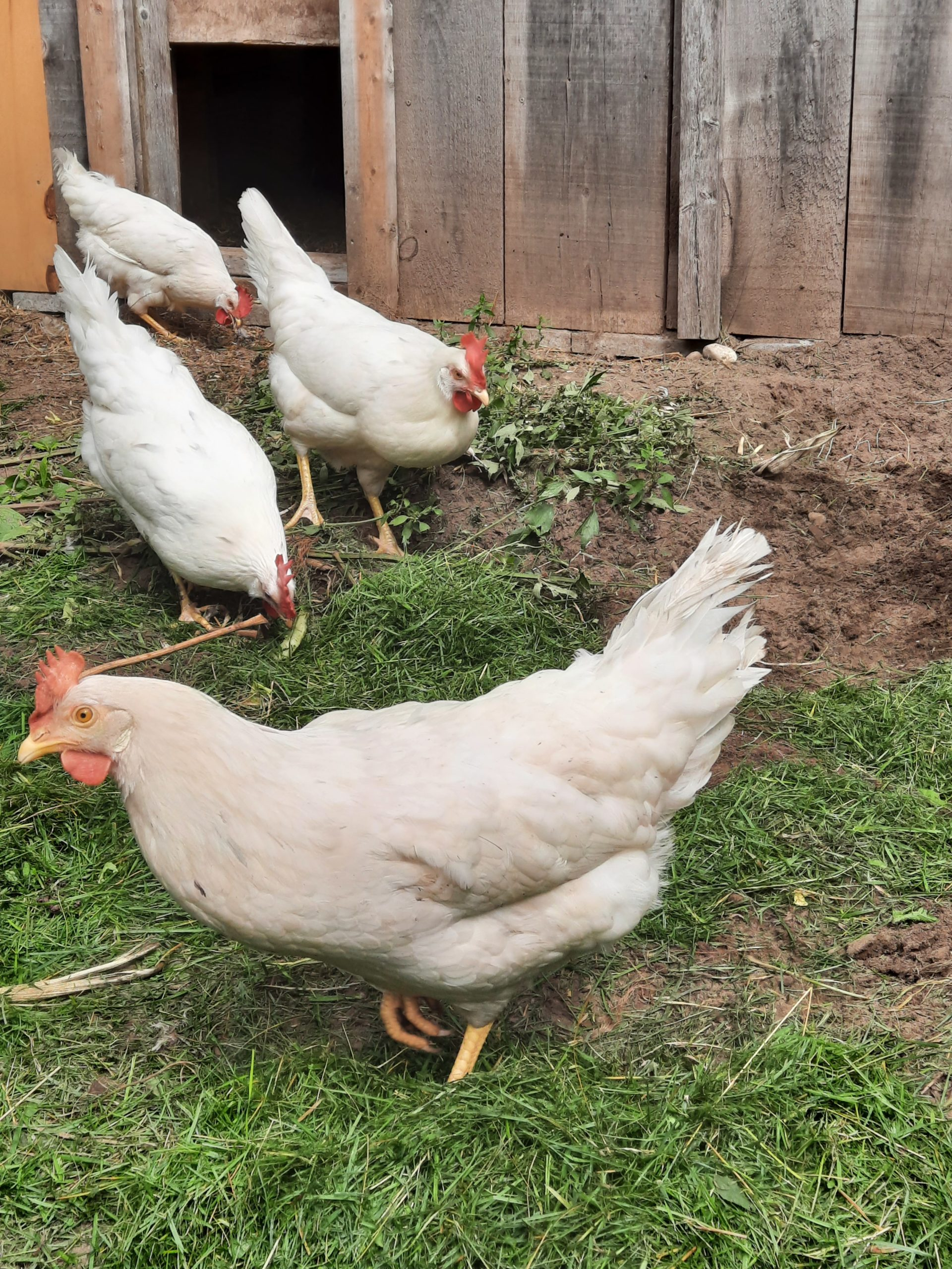 Members laying hens out in their yard