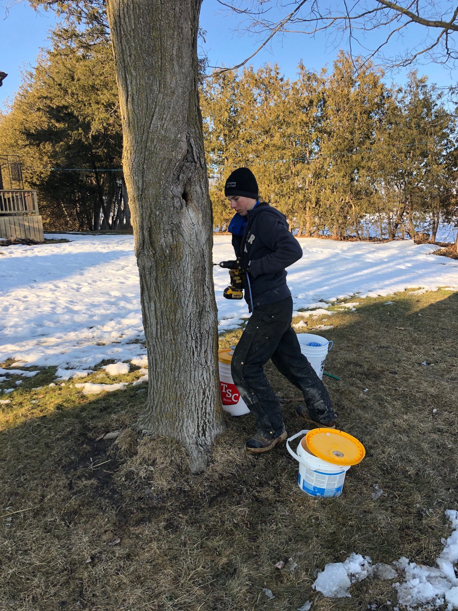 Member drilling a hole to tap a maple tree