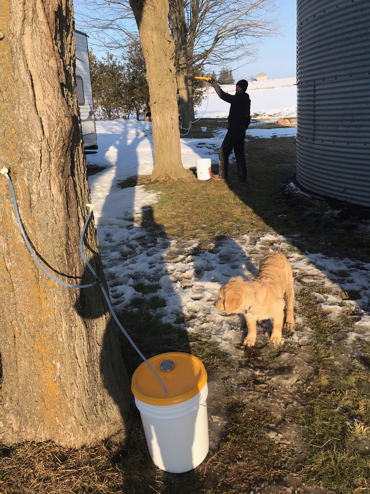 Tapped tree collecting sap with member in background tapping the next tree
