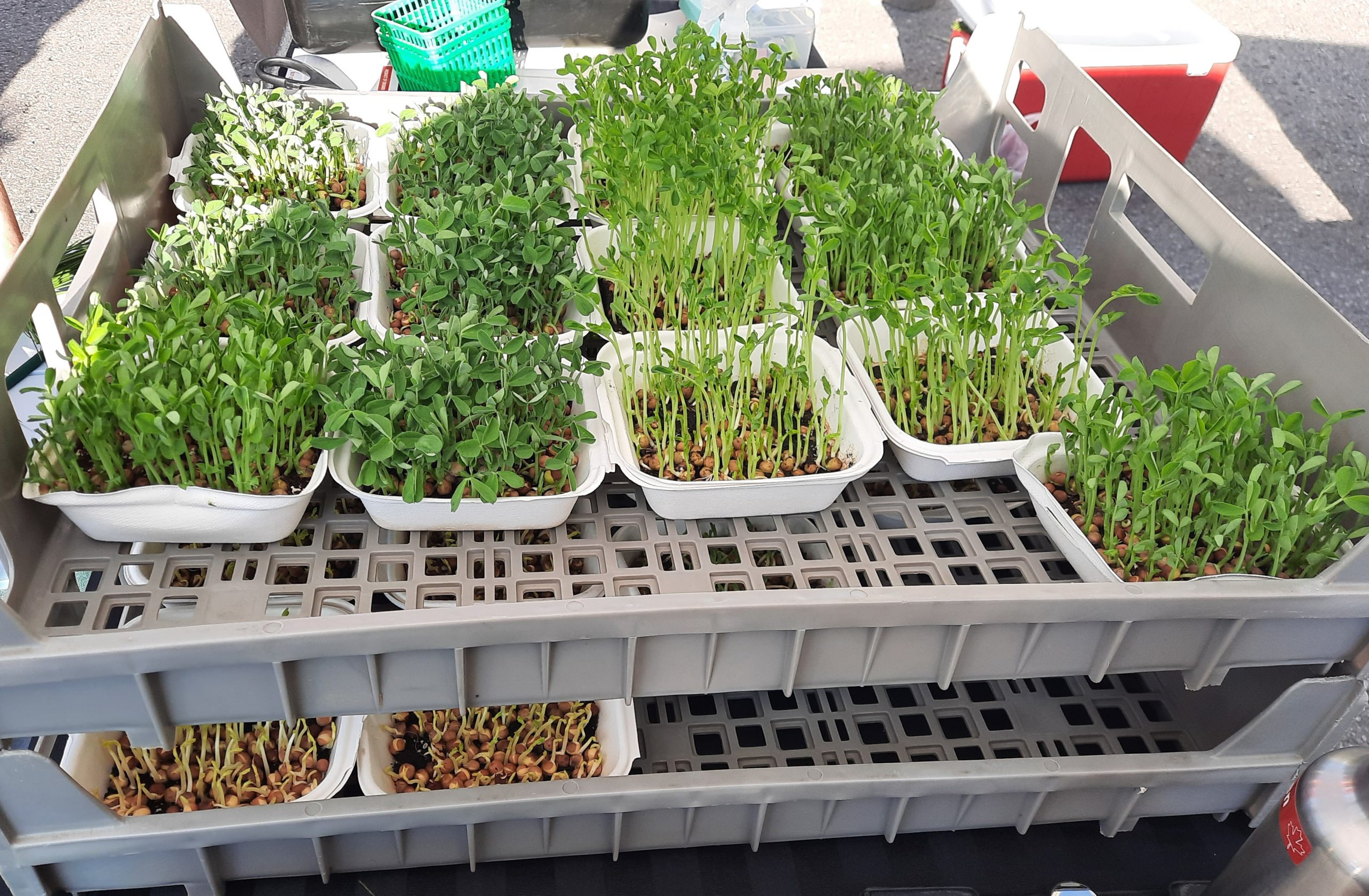 Micro greens ready for new homes at the market